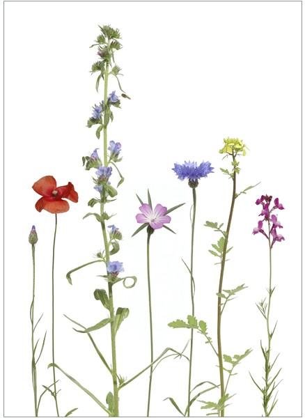 """Postkarte """"Einjährige Bienenfreunde"""""""