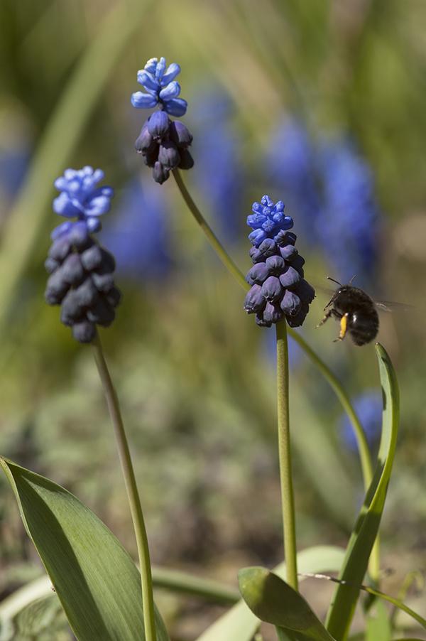 Anthophora plumipes an Muscari latifolium