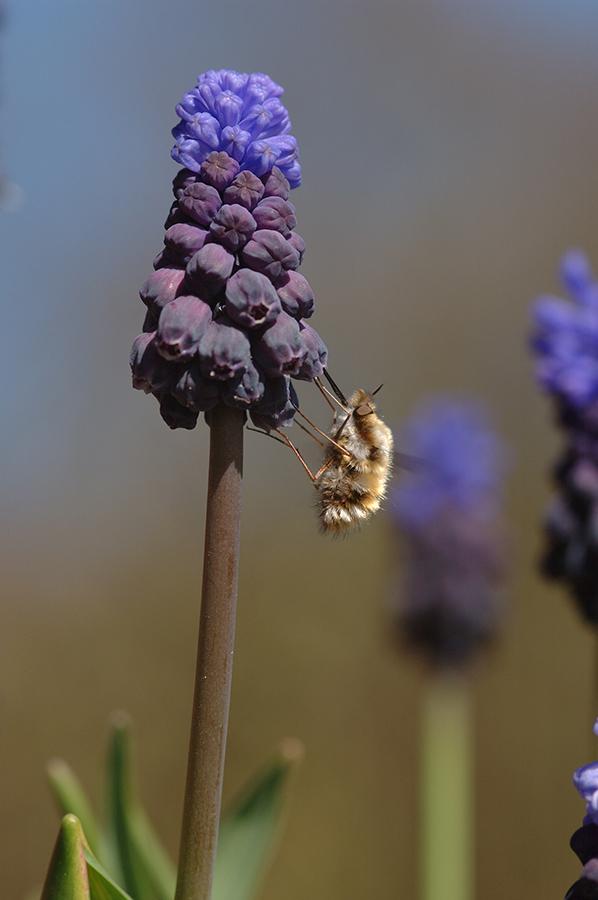 Hummelschweber an Muscari latifolium