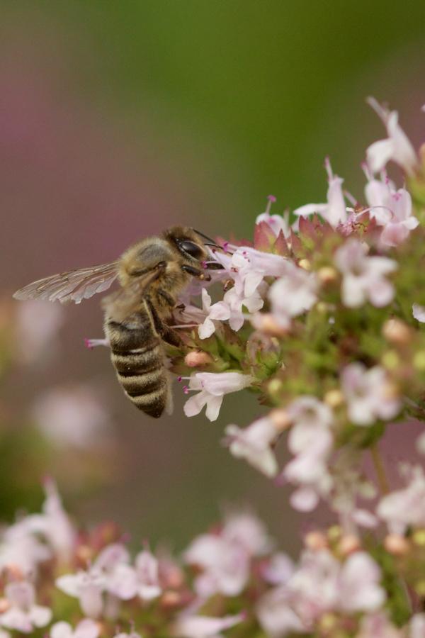 Origanum mit Honigbiene